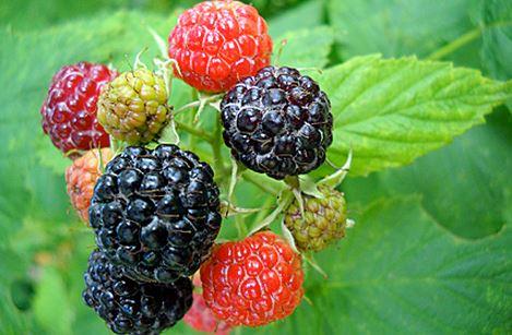 BR - berries